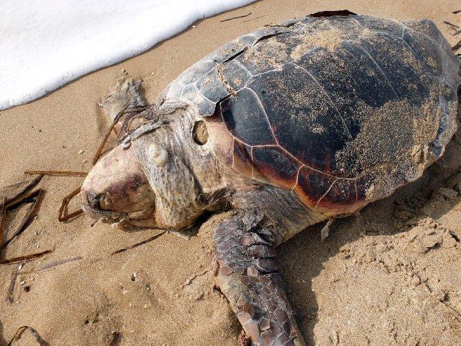 https://www.ragusanews.com//immagini_articoli/26-10-2020/1603741831-rinvenuta-carcassa-di-tartaruga-caretta-caretta-in-decomposizione-1-500.jpg
