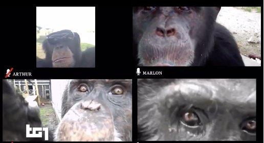 https://www.ragusanews.com//immagini_articoli/27-03-2021/nessuno-va-allo-zoo-gli-scimpanze-si-distraggono-con-le-videochiamate-280.jpg