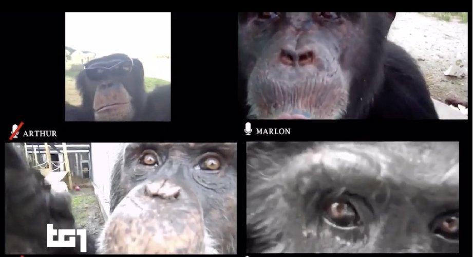 https://www.ragusanews.com//immagini_articoli/27-03-2021/nessuno-va-allo-zoo-gli-scimpanze-si-distraggono-con-le-videochiamate-500.jpg