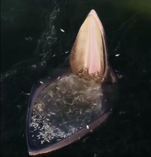 https://www.ragusanews.com//immagini_articoli/27-04-2021/la-balena-fa-la-spesa-centinaia-di-pesci-con-un-sol-boccone-video-500.jpg