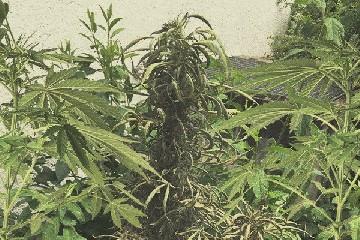 https://www.ragusanews.com//immagini_articoli/27-09-2020/sorpreso-con-2-piante-di-canapa-denunciato-ad-acate-240.jpg