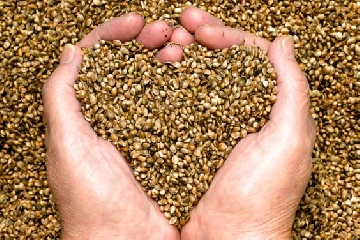 http://www.ragusanews.com//immagini_articoli/28-03-2014/a-ispica-i-coltivatori-legali-di-cannabis-240.jpg