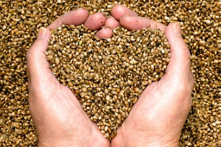 http://www.ragusanews.com//immagini_articoli/28-03-2014/a-ispica-i-coltivatori-legali-di-cannabis-500.jpg