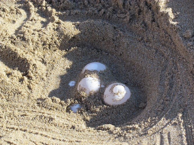 https://www.ragusanews.com//immagini_articoli/28-07-2017/tartarughe-marine-nidificano-spiaggia-pozzallo-500.jpg