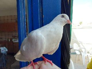 https://www.ragusanews.com//immagini_articoli/28-08-2018/1535443588-comiso-straordinaria-storia-bianca-colomba-cieca-1-240.jpg