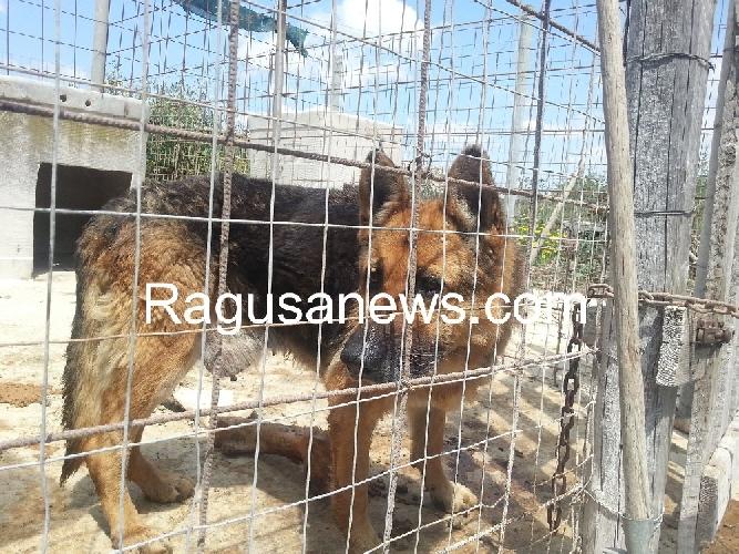 http://www.ragusanews.com//immagini_articoli/29-04-2014/caso-lucenti-73-cani-in-attesa-di-adozione-500.jpg