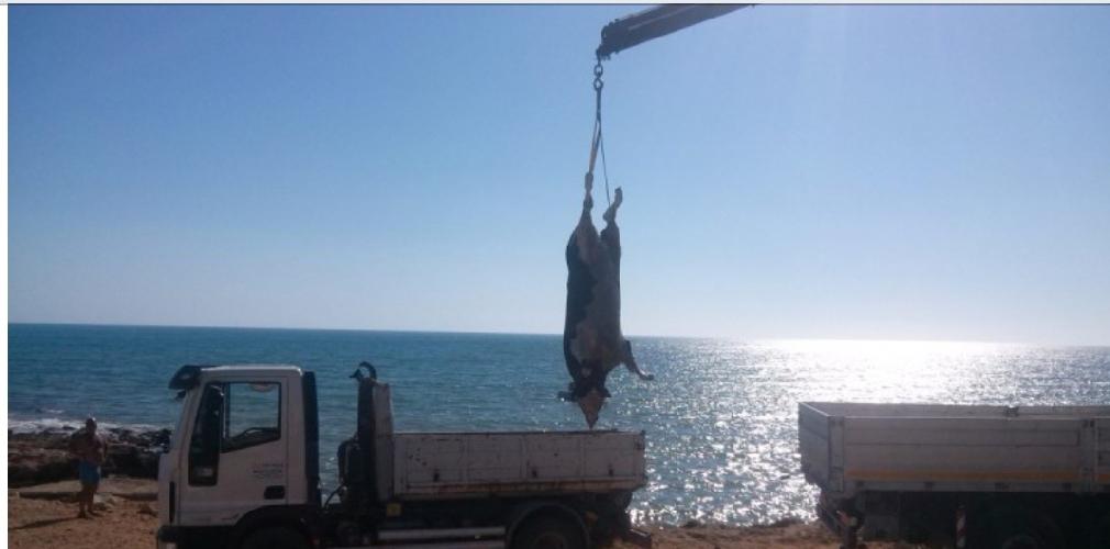 http://www.ragusanews.com//immagini_articoli/29-07-2015/c-e-chi-pesca-una-mucca-morta-in-mare-500.jpg
