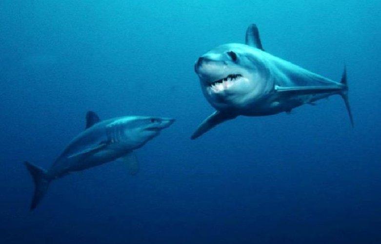 https://www.ragusanews.com//immagini_articoli/30-05-2018/chiama-mako-squalo-bianco-solca-mare-siciliano-500.jpg
