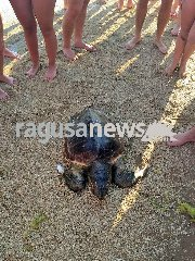 https://www.ragusanews.com//immagini_articoli/30-06-2019/esemplare-di-caretta-caretta-spiaggiata-a-caucana-240.jpg