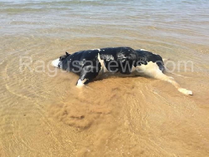 http://www.ragusanews.com//immagini_articoli/30-07-2015/pescata-una-mucca-morta-nel-mare-di-maganuco-500.jpg