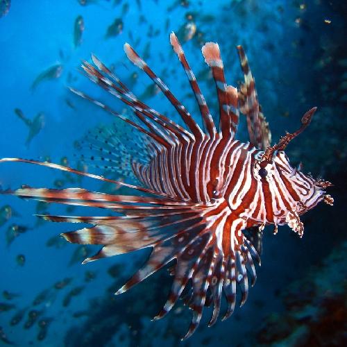 http://www.ragusanews.com//immagini_articoli/31-03-2017/vendicari-hanno-avvistato-pericoloso-pesce-scorpione-500.jpg