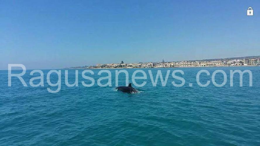 http://www.ragusanews.com//immagini_articoli/31-07-2017/giocano-delfini-mare-sampieri-500.jpg