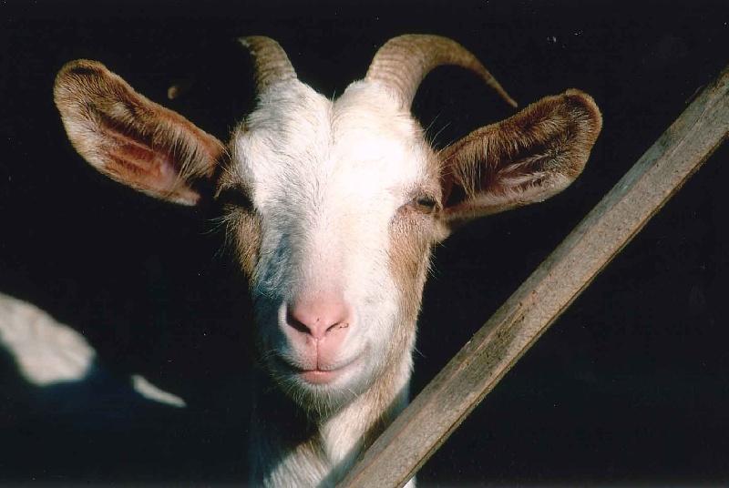 Vietato fare serenate obbligo di museruola per capra - Immagini da colorare capra ...