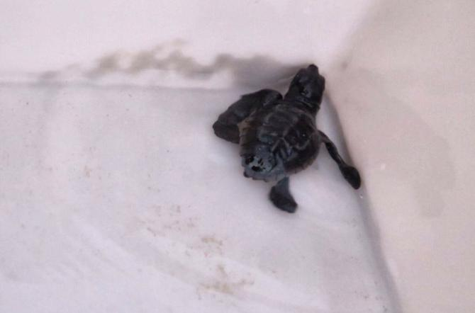 Attualit santa croce camerina punta secca si schiudono for Incubazione uova tartaruga