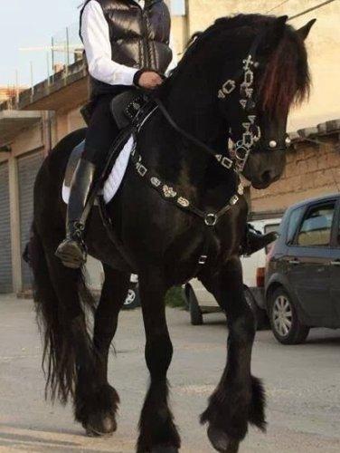 https://www.ragusanews.com/resizer/resize.php?url=https://www.ragusanews.com//immagini_articoli/03-12-2014/1417605630-0-vendo-cavallo-frisone.jpg&size=376x500c0
