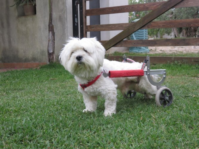 https://www.ragusanews.com/resizer/resize.php?url=https://www.ragusanews.com//immagini_articoli/06-06-2016/1465231896-0-murphy-il-cane-che-cammina-con-le-ruote.jpg&size=667x500c0