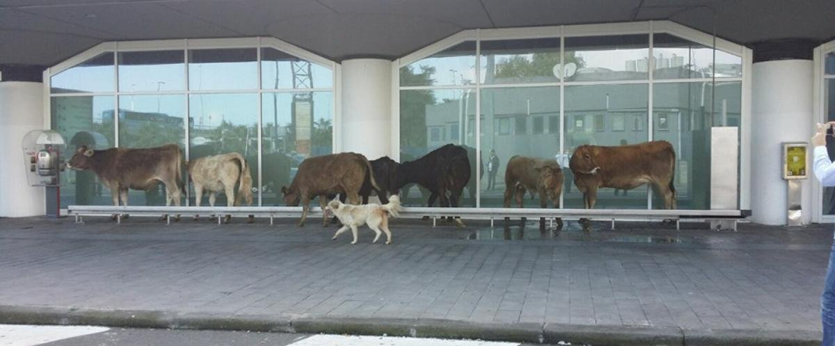 https://www.ragusanews.com/resizer/resize.php?url=https://www.ragusanews.com//immagini_articoli/06-11-2015/1446832441-0-mucche-all-aeroporto-volevano-partire-per-l-india.jpg&size=1205x500c0