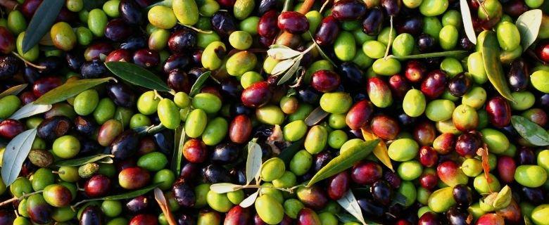 https://www.ragusanews.com/resizer/resize.php?url=https://www.ragusanews.com//immagini_articoli/07-03-2018/1520418216-1-alberi-saraceni-olio-chiaramonte.jpg&size=1219x500c0
