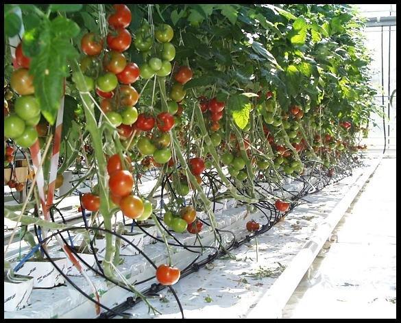 https://www.ragusanews.com/resizer/resize.php?url=https://www.ragusanews.com//immagini_articoli/16-05-2013/1396120071-innovazione-in-agricoltura-tecniche-di-coltivazione-fuori-suolo.jpg&size=621x500c0
