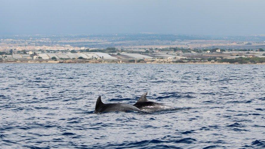 https://www.ragusanews.com/resizer/resize.php?url=https://www.ragusanews.com//immagini_articoli/18-09-2018/1537261163-4-delfini-montalbano-foto.jpg&size=888x500c0
