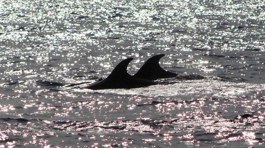 https://www.ragusanews.com/resizer/resize.php?url=https://www.ragusanews.com//immagini_articoli/18-09-2018/1537261213-1-delfini-montalbano-foto.jpg&size=891x500c0