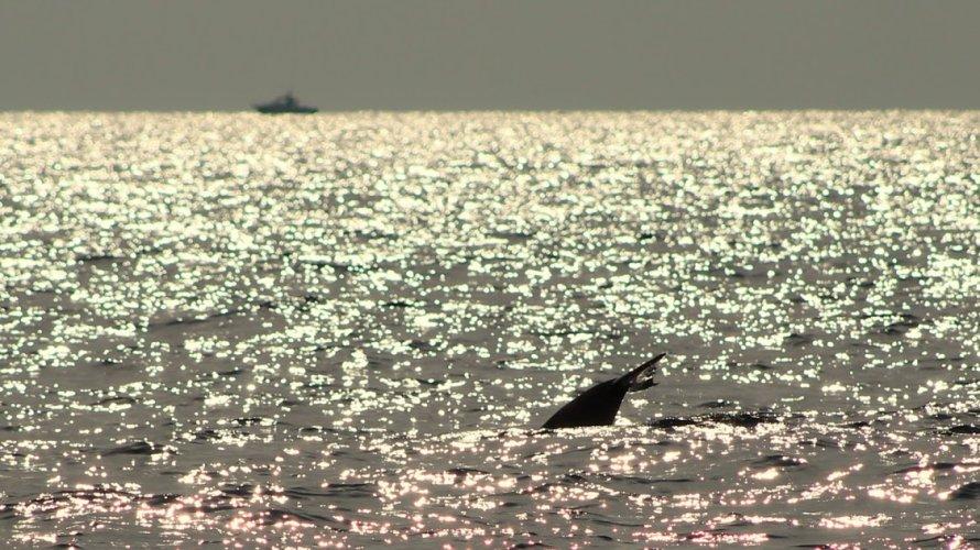 https://www.ragusanews.com/resizer/resize.php?url=https://www.ragusanews.com//immagini_articoli/18-09-2018/1537261213-2-delfini-montalbano-foto.jpg&size=890x500c0