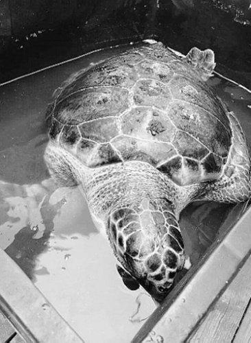 https://www.ragusanews.com/resizer/resize.php?url=https://www.ragusanews.com//immagini_articoli/24-08-2014/1408894071-0-una-tartaruga-di-50-chili-a-punta-secca.jpg&size=366x500c0