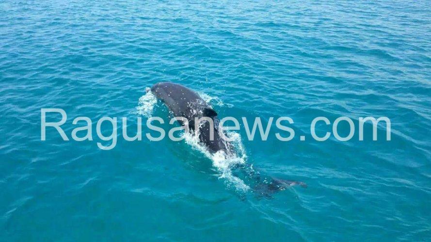 https://www.ragusanews.com/resizer/resize.php?url=https://www.ragusanews.com//immagini_articoli/31-07-2017/1501485385-1-giocano-delfini-mare-sampieri.jpg&size=889x500c0